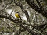 Kingbird (couch's or