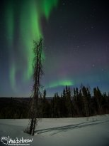 I love how this dead black spruce lines up with the aurora.