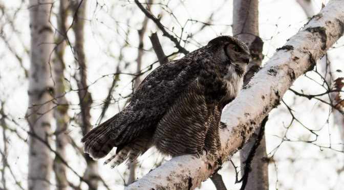 The Great Great-Horned Owl