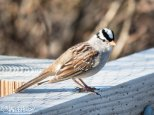 White-crowned Sparrow showing off its namesake