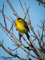 Wilson's Warbler - one of my favorites!