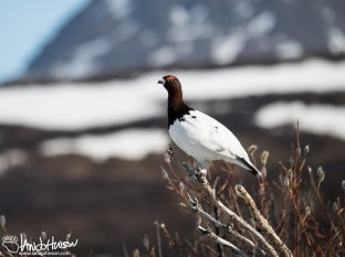 A Willow Ptarmigan in front of the mountains