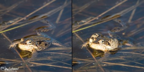 A before and after comparison of a wood frog with its air sacs swollen.