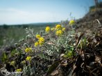 Yellow cedum on top of Wolf Point