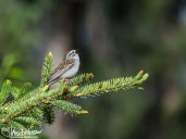 The chipping sparrow sang its heart out and chased all other birds away from its perch.