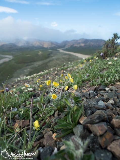 Polychrome Pass Wildflowers