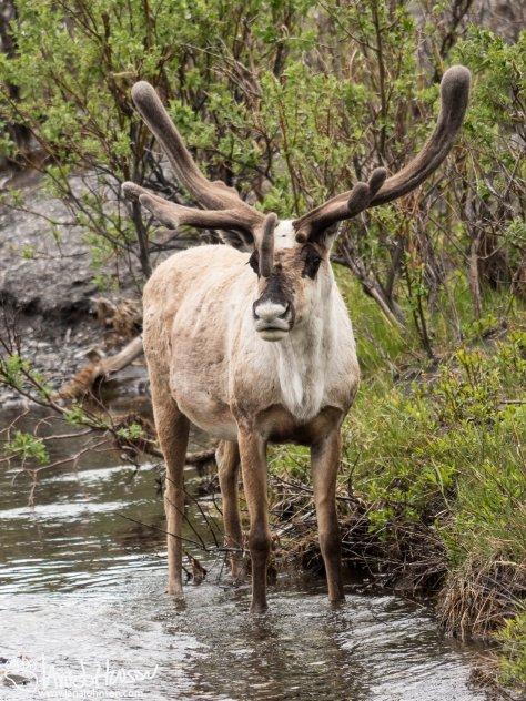 Curious Caribou