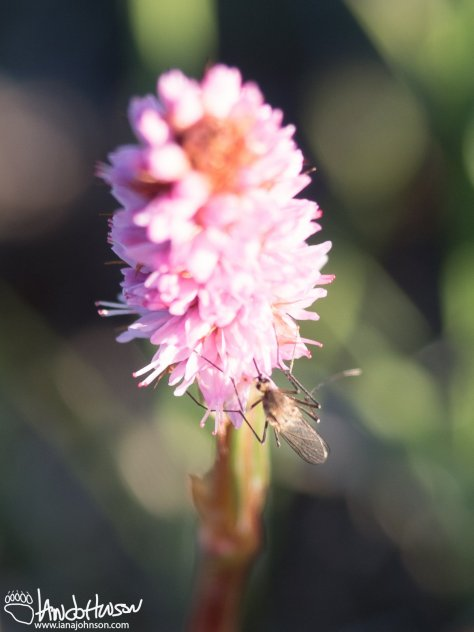Mosquito Pollination