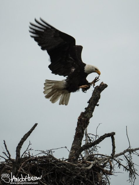 American Bald Eagle, Homer, Alaska