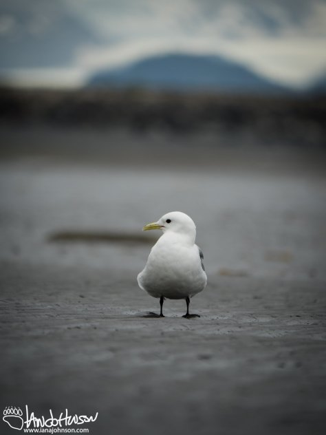 Black-legged Kittiwake, Homer, Alaska