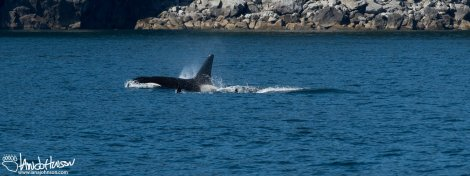 The progress of the killer whales was quick, and water splashed from their fins as they breached for air.