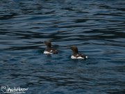 In contrast to the thick-billed murres, these common murres do not have a white line behind their bill.