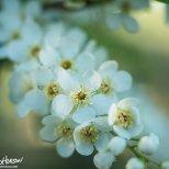 Cherry (Prunus spp), Creamer's Field, Alaska