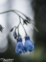 Bluebell (Mertensia spp), Fairbanks, Alaska