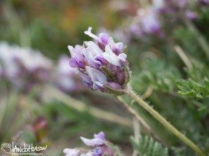 Showy Locoweed (Oxytropis splendens), Denali National Park, Alaska
