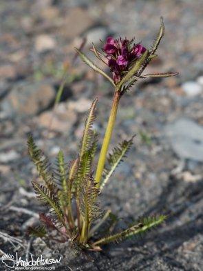 Landsdorf's Lousewort (Pedicularis langsdorfii), Denali National Park, Alaska