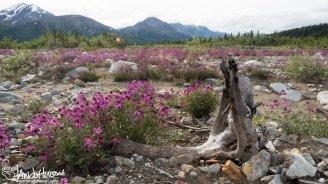 Wild Sweet Pea (Hedysarum mackenzii), Delta, Alaska