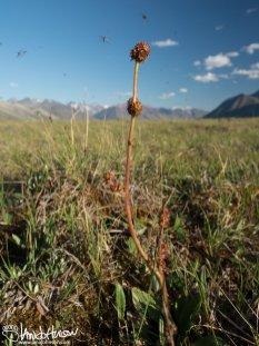 Common Name Unknown ( Micranthes hieraciifolia), Galbraith Lake, Alaska