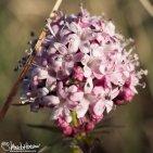 Capitate Valerian (Valeriana capitata), Galbraith Lake, Alaska