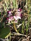 Whorled Lousewort (Pedicularis verticillata), Galbraith Lake, Alaska