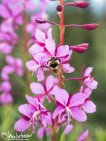 Fireweed (Chamerion angustifolium) and Tri-colored Bumblebee, Denali Highway, Alaska