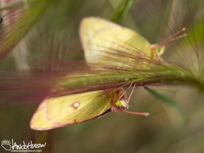 Squirrel Tail Grass, Northern Sulphur Butterflies, Glenn Highway, Matanuska Glacier, Alaska