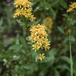 Northern Goldenrod ( Salidago multiradiata), Denali National Park, Alaska