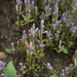 Four-petaled Gentian (Gentiana propinqua), Denali National Park, Alaska