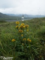 Northern Goldenrod ( Salidago multiradiata), Denali National Park, Alaska
