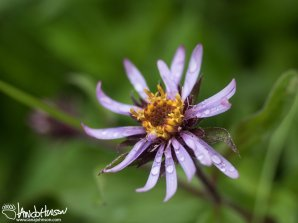 Purple Aster (Aster spp), Denali National Park, Alaska