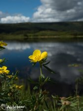 Potentilla (Potentilla spp), Denali National Park, Alaska
