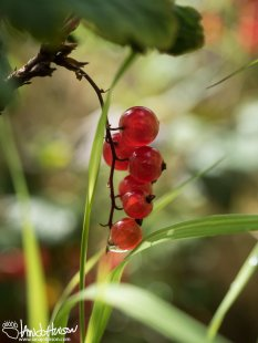High-bush Cranberry (Vibrunum edule), Denali National Park, Alaska