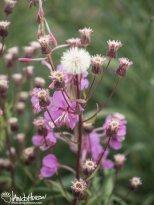Purple Aster (Aster spp) and Fireweed (Chamerion angustifolium), Denali National Park, Alaska