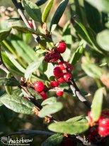 Soapberry (Shepherdia canadensis), Richardson Highway, Alaska