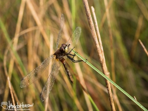 Dew covered dragonfly