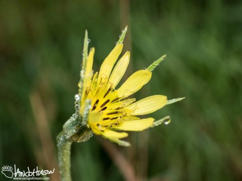 Meadow Goat's Bear (Tragopogon pratensis) and Dew