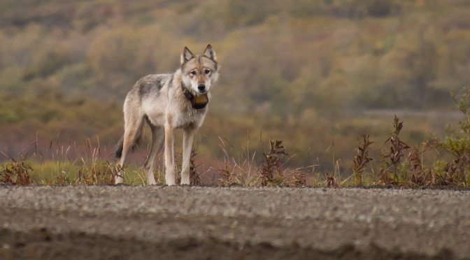 Hunting Behavior and Habitat Selection of Wolves in a Low-density Prey System During Winter