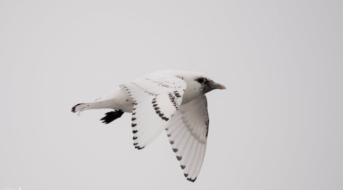 An Ivory Gull in Duluth, So What?