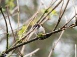 Chesnut-sided Chickadee