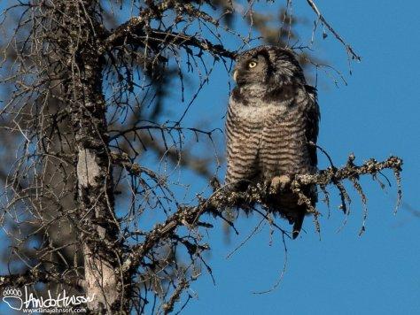 Northern Hawk Owl, Dalton Highway, Alaska
