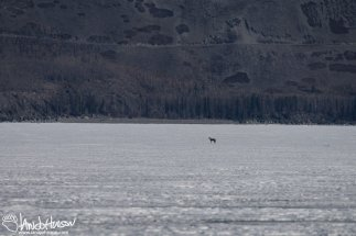 A Coyote makes its way across the ice on Kluane Lake