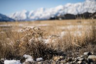 The gold and white stems of an old yarrow plant south of Kluane Lake