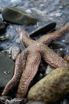 As the tide goes out, hundreds of star fish are found along the shoreline of Hoonah.