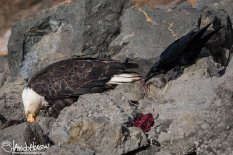 A Common Raven makes his move and sneaks in for a bit of seal meat at Icy Strait Point