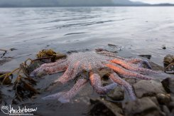 A red and purple sunflower seastar trapped on the tideline in Hoonah, Alaska.