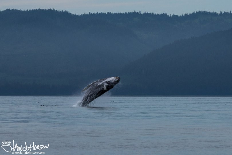 A mature humpback whale breaches in Hoonah, Alaska.