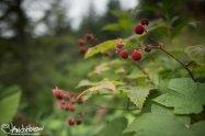 Thimbleberries.