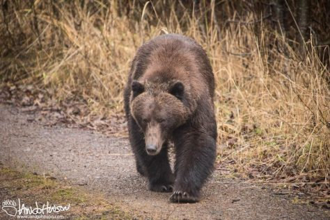 Brown Bear, Southeast, Alaska, Hoonah