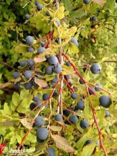 Alaska, Blueberries, Subsistence