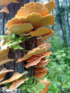 Chicken of the woods provides a welcome change from berries!